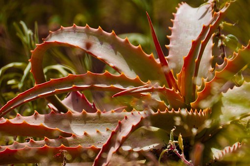 Aloe Vera, Plant, Plants, Nature, Leaves
