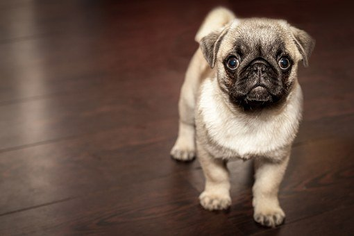 Pug, Puppy, Dog, Animal, Cute, Surprised