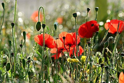 Poppy, Flower, Plant, Papaver Somniferum